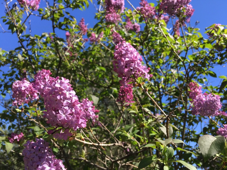 The lilacs are blooming.