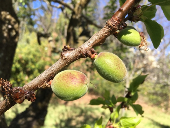 The first fruit in the orchard...I just wish I knew what it was! I guess we'll find out soon enough.